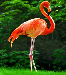 жар-птица-фломинго