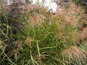 сава-трава