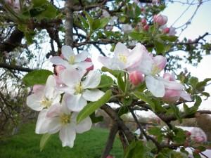 Яблоки-3Ляхненко