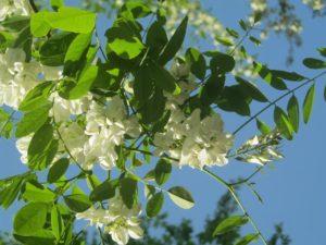 В Краснодаре цветет акация.