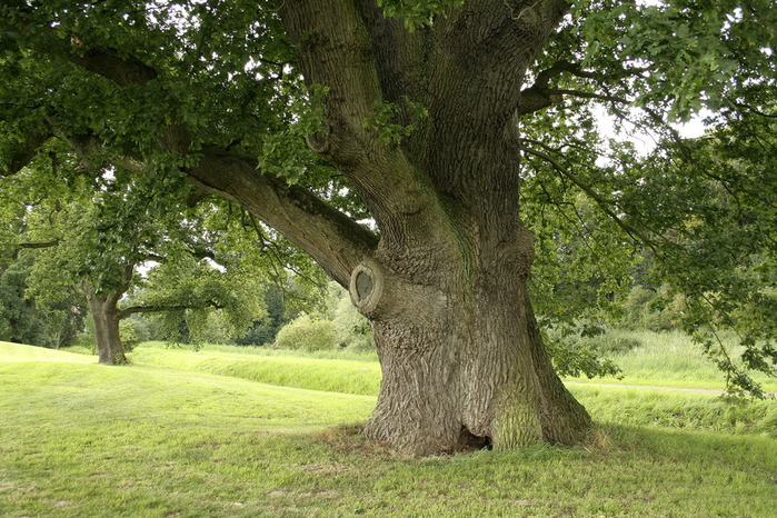 картинки дуб дерево