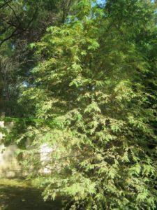 Кипарис болотный, фото Наты
