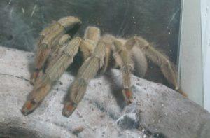 1-тарантул
