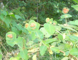 Оранжевая жимолость, фото Наты