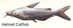 1-Сомик канальный-На рыбалку