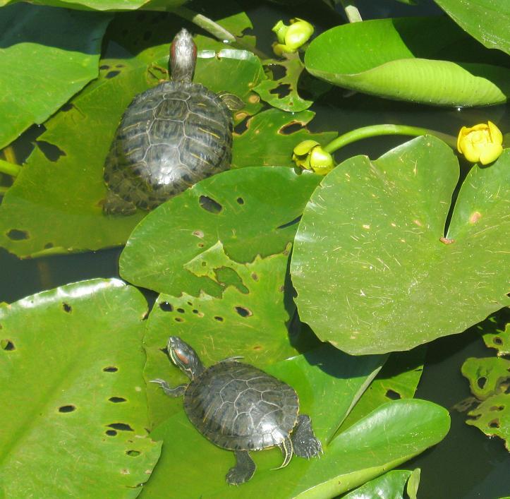 Красноухие черепахи в Краснодарском сафари-парке