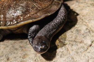 черепаха-змеиношеяя