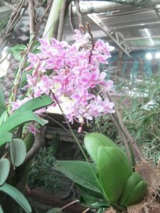 Фаленопсис, фото Наты