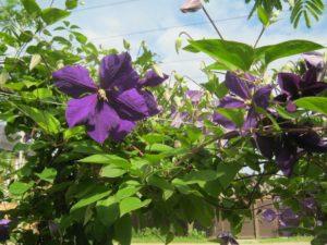Цветение клематиса в Краснодаре