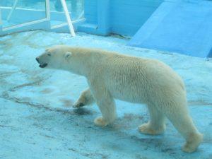 Белый медведь, фото Наты