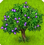 1-оливковое дерево- Территория Фермеров