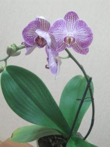орхидея-