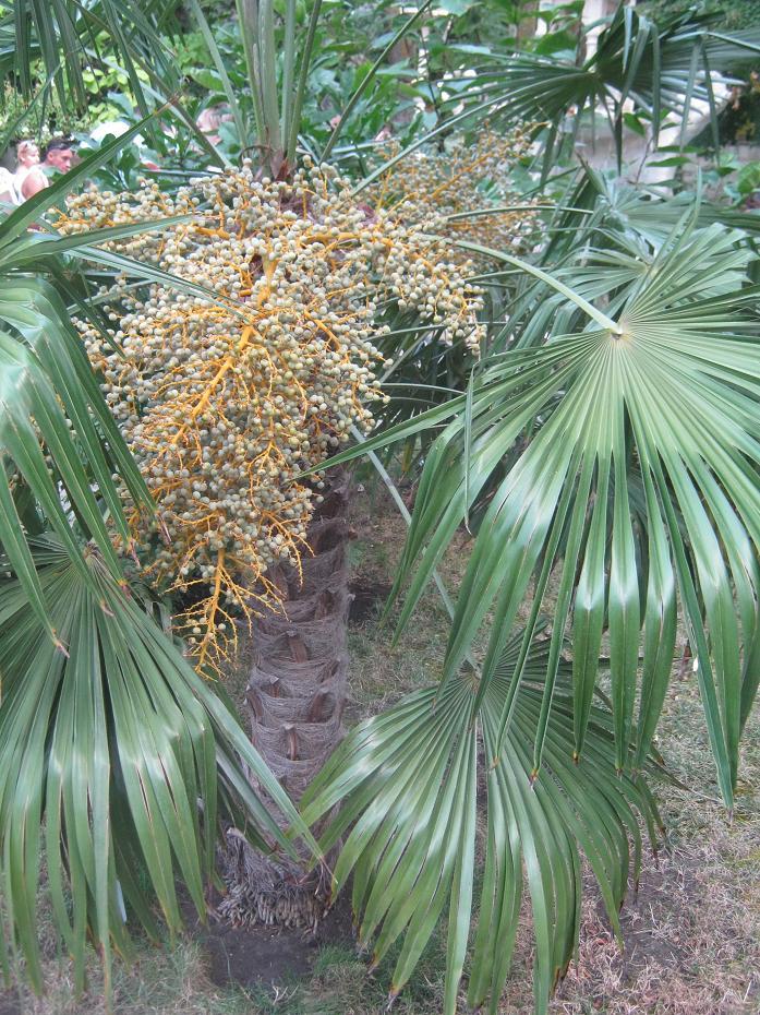 Цветущая пальма, фото Наты