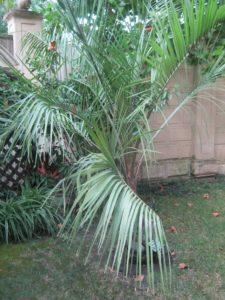 Бутия - перистая пальма, фото Наты