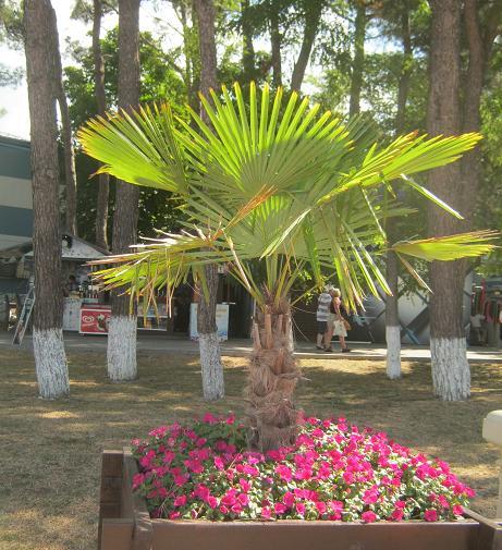 Веерная пальма, фото Наты