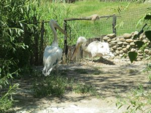 Пеликан в Краснодарском сафари-парке