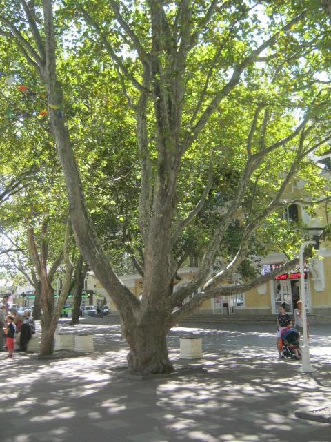 Платан в Геленнджике, фото Наты