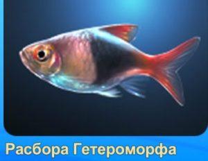 1-расбора-рыба-Аквантика