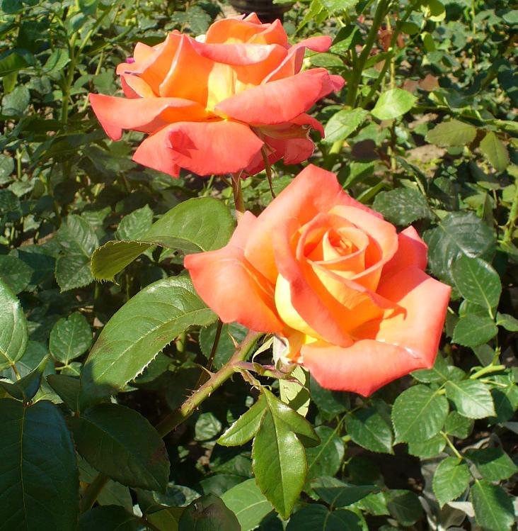-роза