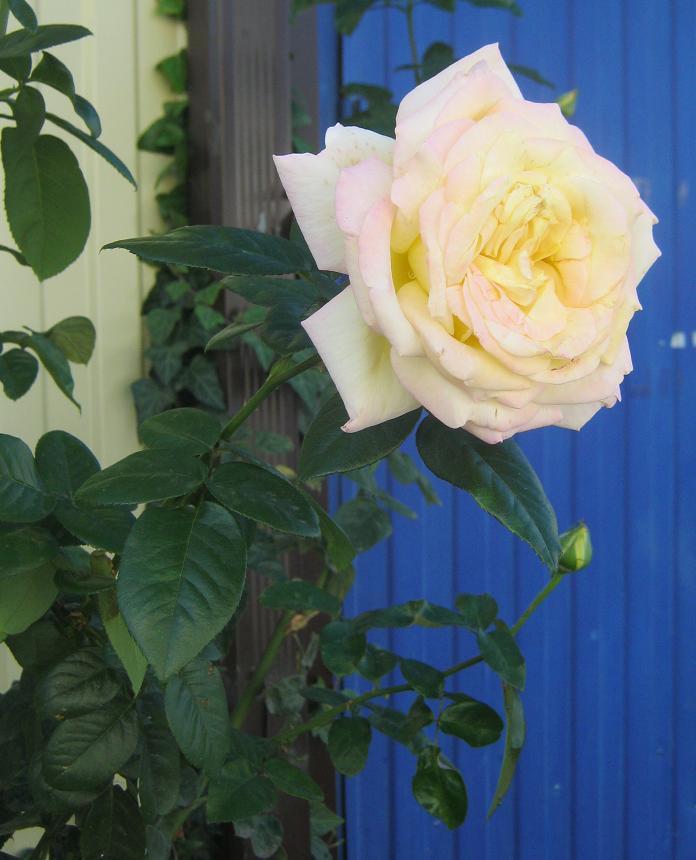 -роза-
