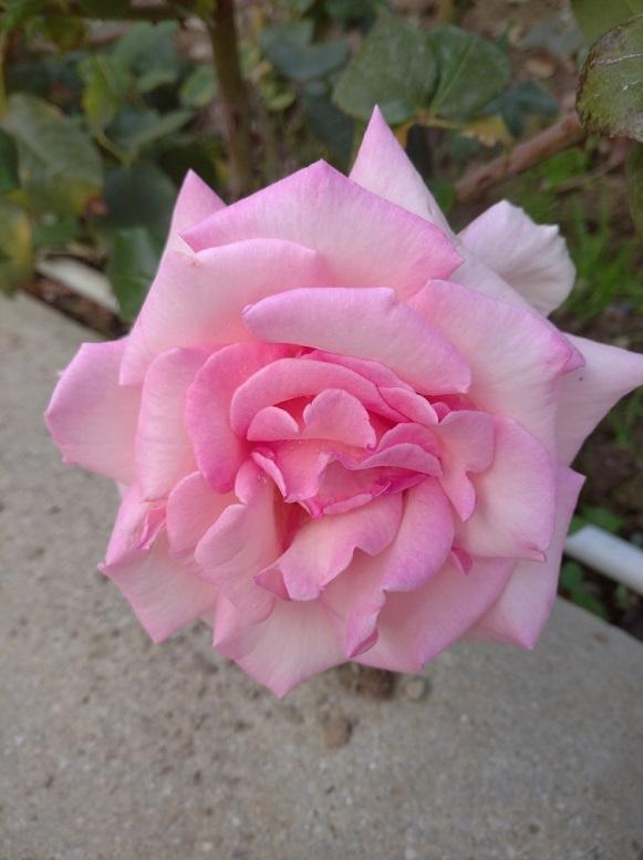 1-роза маргарет Горбунова