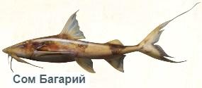 1-сом багарий -на рыбалку
