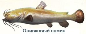 1-сом олив-на рыбалку