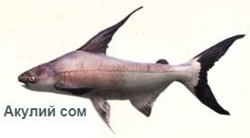 1-сом-пангасий-На рыбалку