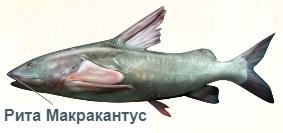 1-сом-рита на рыбалку