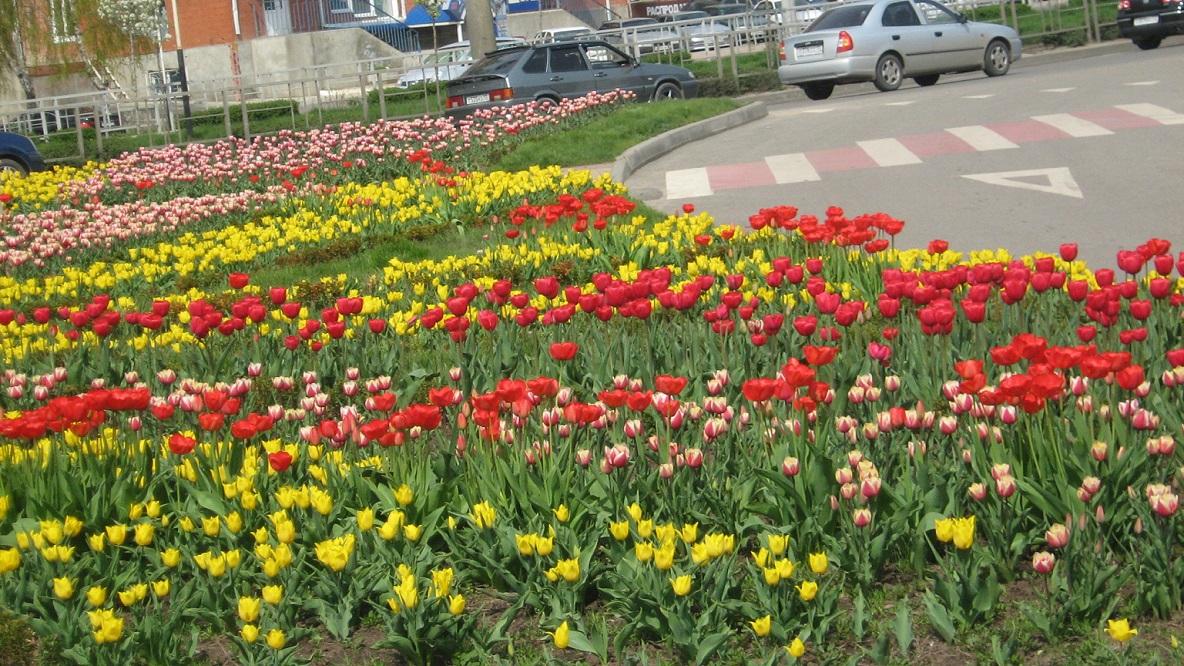 1-тюльпанное поле