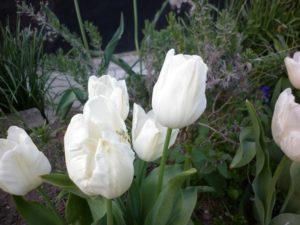 тюльпаны-ляхненко