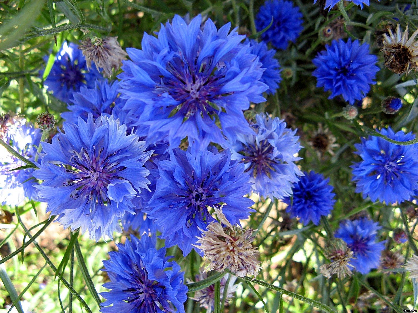 василёк фото цветка