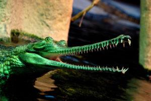1-гивиал-крокодил