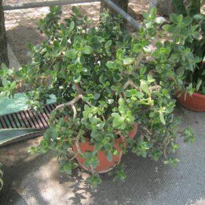 Денежное дерево, фото Наты
