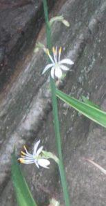Цветы хлорофитума, фото Наты