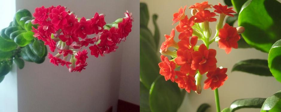 В нашем Центре цветет каланхое, фото Наты