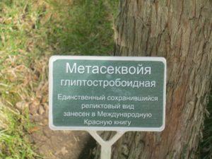 Метасеквойя в Кабардинке