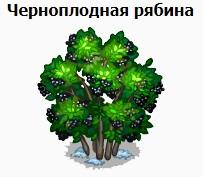 1-арония-рябина черноплодная-Запорожье