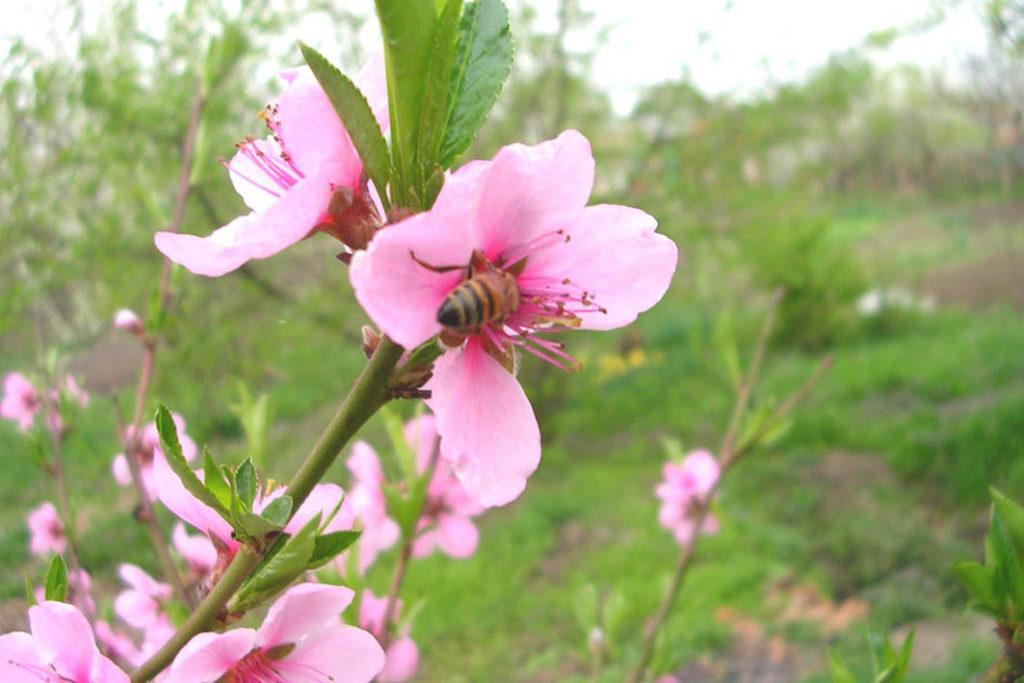 Персик в моем саду