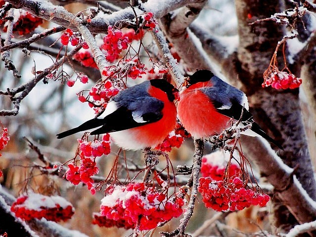 Рябина красная обыкновенная Дерево рябина фото цвет