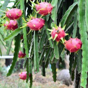 1-гилоцериус плоды питайя