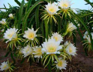 1-гилоцериус цветет