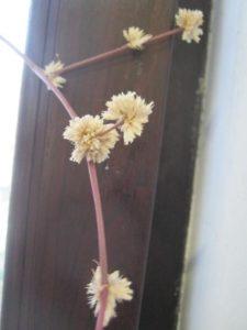 Засохшие цветы золотого уса, фото Наты