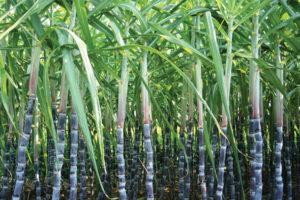 1-сахарный тростник