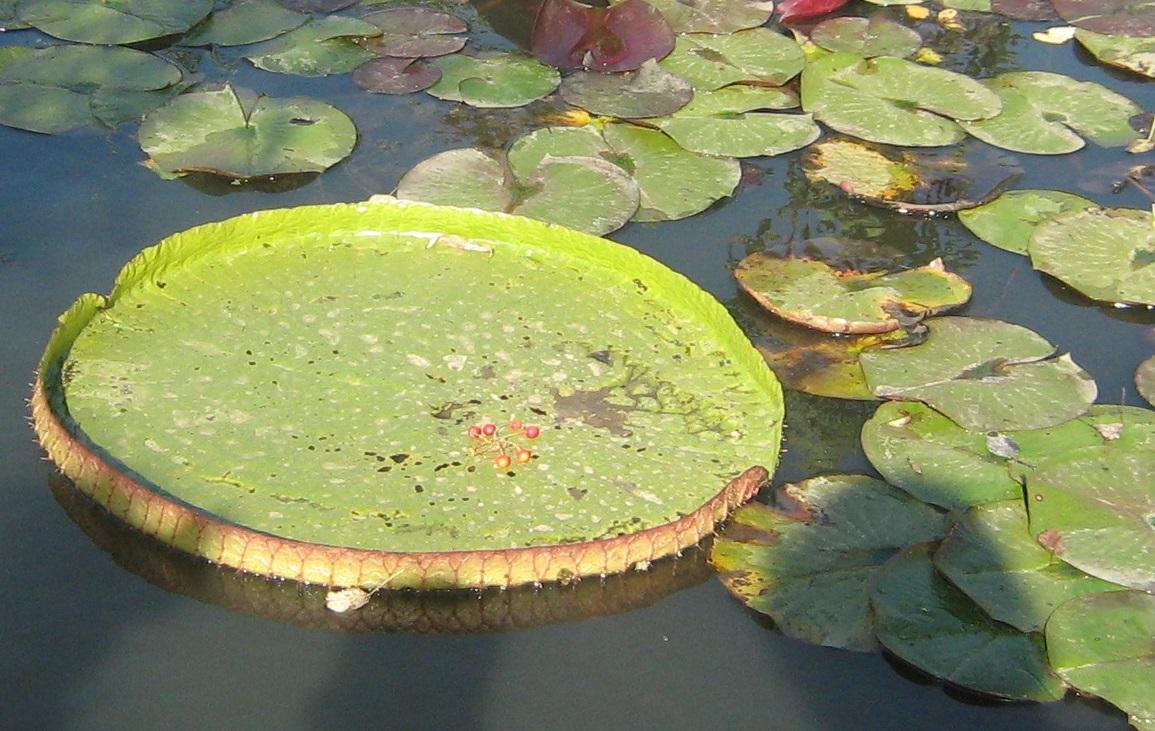 Виктория регия, Ботанический сад КубКУ,  фото Наты