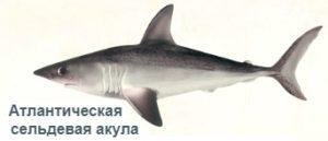 1-акула сельдевая-на рыбалку