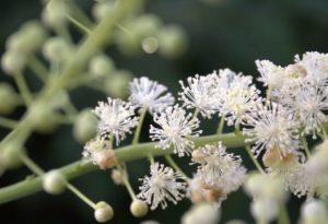 1-воронец-цветы