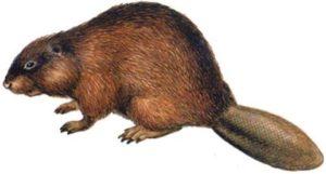 звериный-бобр