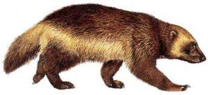 1-звериный-росомаха-6