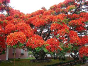 делоникс - огненное дерево
